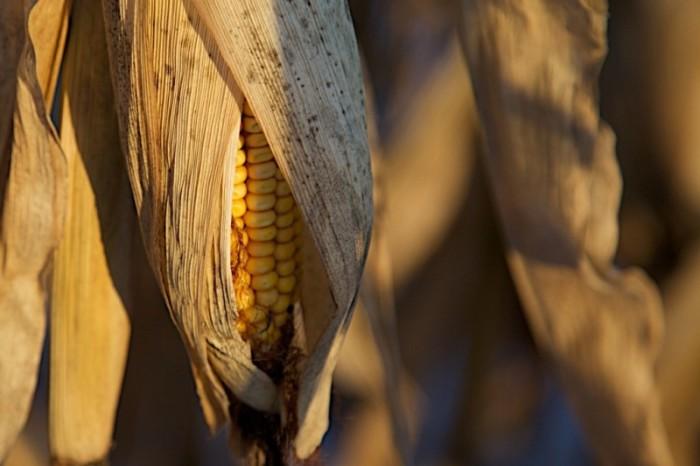 La stratégie diabolique des futures plantes OGM